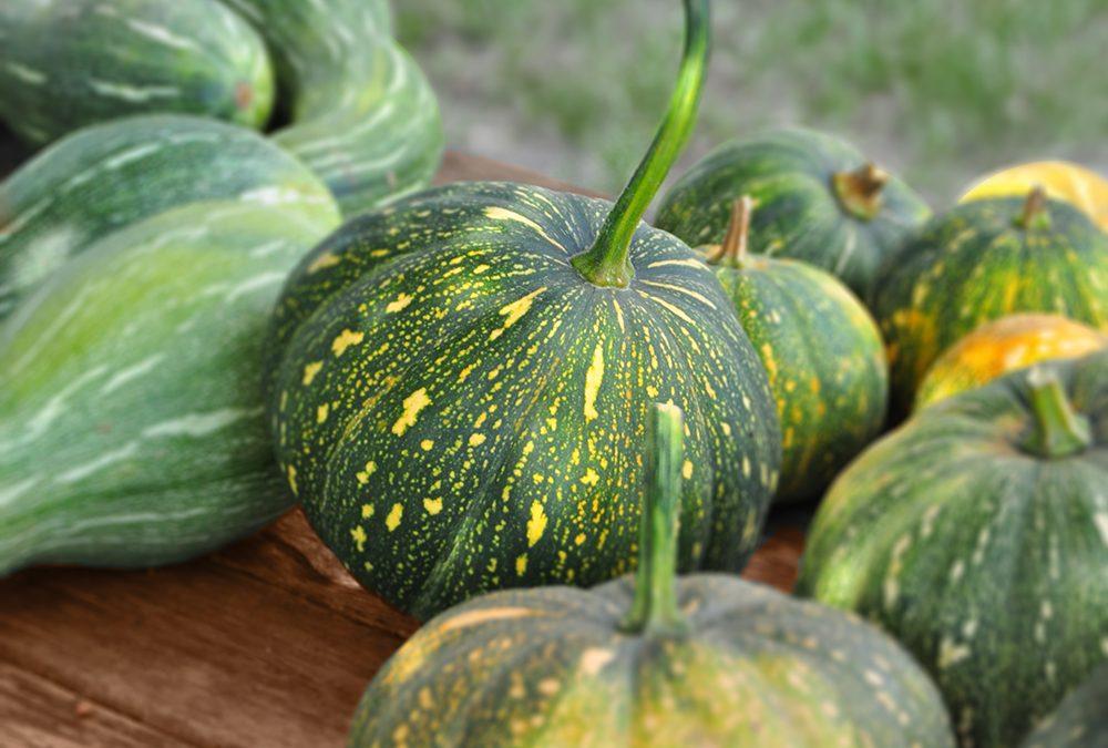 Seminole Pumpkin (Curvita Maschata)